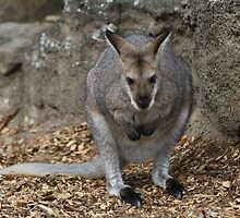 Wallaby by Alison  Gainge