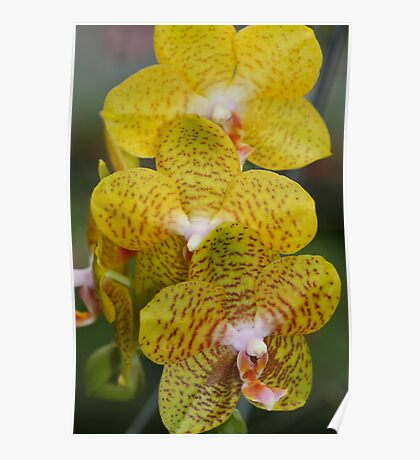 Orchid Yellow Poster