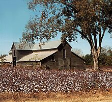 Mule Barn with Cotton by WTBird