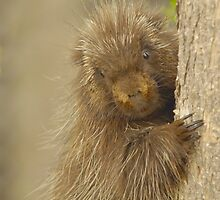 Porcupine by gregsmith