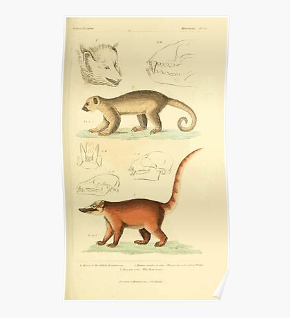 The Animal Kingdom by Georges Cuvier, PA Latreille, and Henry McMurtrie 1834 590 - Mammalia Mammals Poster