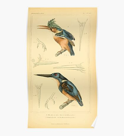 The Animal Kingdom by Georges Cuvier, PA Latreille, and Henry McMurtrie 1834 694 - Aves Avians Birds Poster