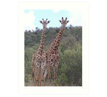 Rothschild Giraffes Art Print