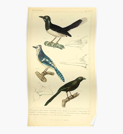 The Animal Kingdom by Georges Cuvier, PA Latreille, and Henry McMurtrie 1834 678 - Aves Avians Birds Poster
