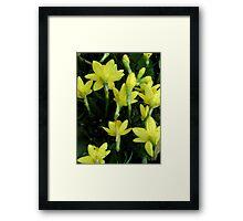 Daffodils dripping wet Framed Print