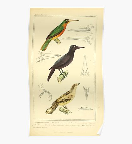 The Animal Kingdom by Georges Cuvier, PA Latreille, and Henry McMurtrie 1834 700 - Aves Avians Birds Poster