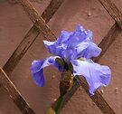Irresistable Iris by DonDavisUK