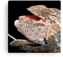A Chameleon With Open Mouth Isolated On Black Canvas Print
