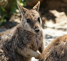 Rock Wallaby by Caroline Angell