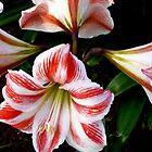 LILIES FOREVER - GORGEOUS WHITE-AND-RED-STRIPED BEAUTIES by RubaiDesign