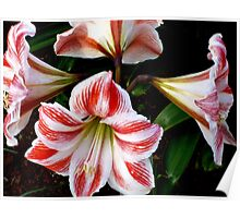 LILIES FOREVER - GORGEOUS WHITE-AND-RED-STRIPED BEAUTIES Poster