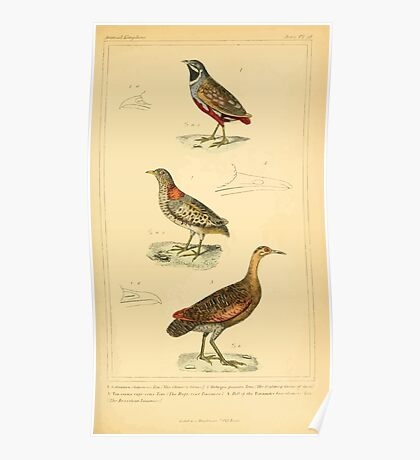 The Animal Kingdom by Georges Cuvier, PA Latreille, and Henry McMurtrie 1834 719 - Aves Avians Birds Poster