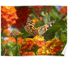 Vanessa  Cardui (or Cynthia Cardui) Butterfly Poster