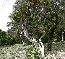 Juniper Tree by Tony Weatherman
