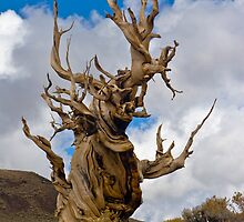 Bristle Cone Pine by photosbyflood