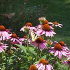 Echinacea and Swallowtail by Sherry O'Neill
