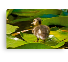 Lost Duckling Canvas Print