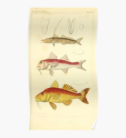 The Animal Kingdom by Georges Cuvier, PA Latreille, and Henry McMurtrie 1834  076 - Pisces Fish Poster