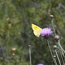 Clouded Yellow by Squealia