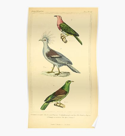 The Animal Kingdom by Georges Cuvier, PA Latreille, and Henry McMurtrie 1834 723 - Aves Avians Birds Poster