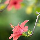 Hibiscus flower by narabia