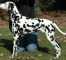Tiny Dalmatian by welovethedogs