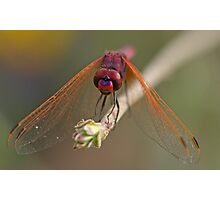 Purple-Blushed Darter Photographic Print