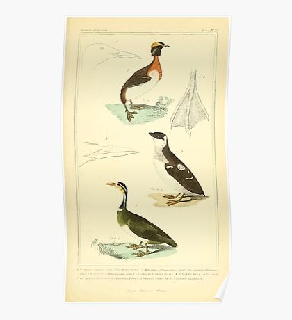 The Animal Kingdom by Georges Cuvier, PA Latreille, and Henry McMurtrie 1834 743 - Aves Avians Birds Poster