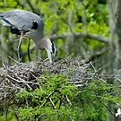 Great Blue Heron Turning Her Eggs in the Nest by imagetj