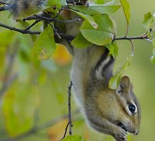 Chipmunk berry picker by gregsmith