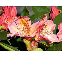Rhododendron  Photographic Print