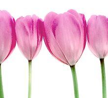 Tulips by Tony Eccles
