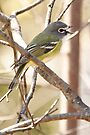 Blue-headed Vireo by Todd Weeks