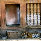 Napping Tiger by Jasmine Staff