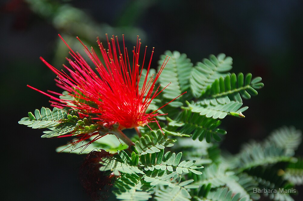 Fairy Duster by Barbara Manis