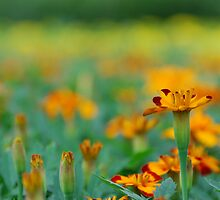 Marigolds by DAltman