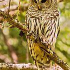 FEMALE BARRED OWL by Sandy Stewart