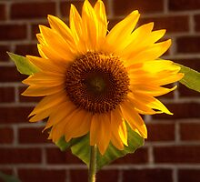 Outspoken Sunflower by Jay Gross