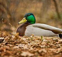 Mallard Drake by Michael Cummings