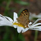 Butterfly on Daisy by Samantha Bailey