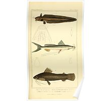 The Animal Kingdom by Georges Cuvier, PA Latreille, and Henry McMurtrie 1834  175 - Pisces Fish Poster