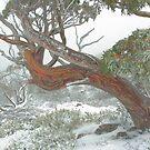 Snow Gum by Donovan Wilson