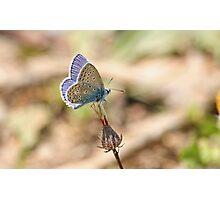 Turkish Common Blue Photographic Print