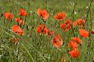 Poppies 3 by David Clarke