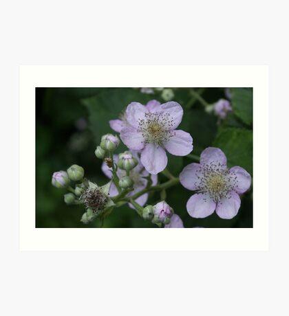 Blackberry flowers Art Print