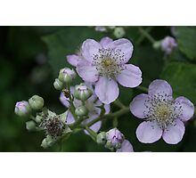 Blackberry flowers Photographic Print
