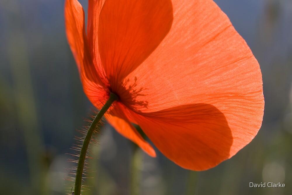 Poppy! by David Clarke