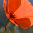 Poppy! by David Clarke