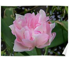 Pale Pink Tulip  Poster