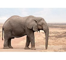 Fluffy African Bush Elephant
